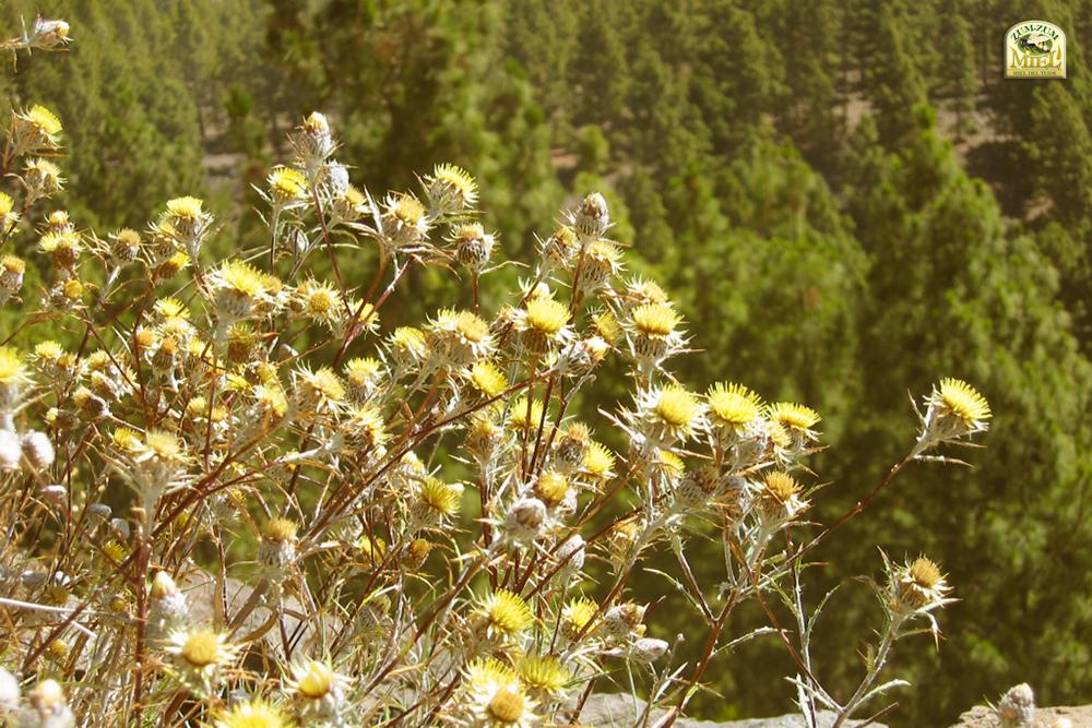 ZUMZUM-floratenerife
